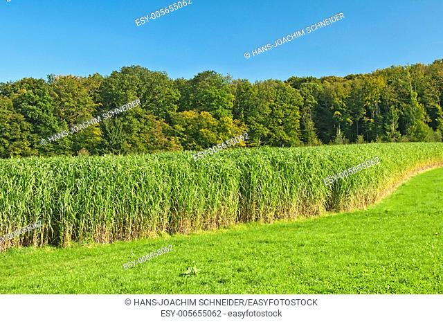 The renewable resource switchgrass in Germany