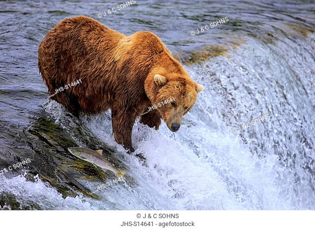 Grizzly Bear, (Ursus arctos horribilis), adult in water hunting salmon, Brookes River, Katmai Nationalpark, Alaska, USA, North America