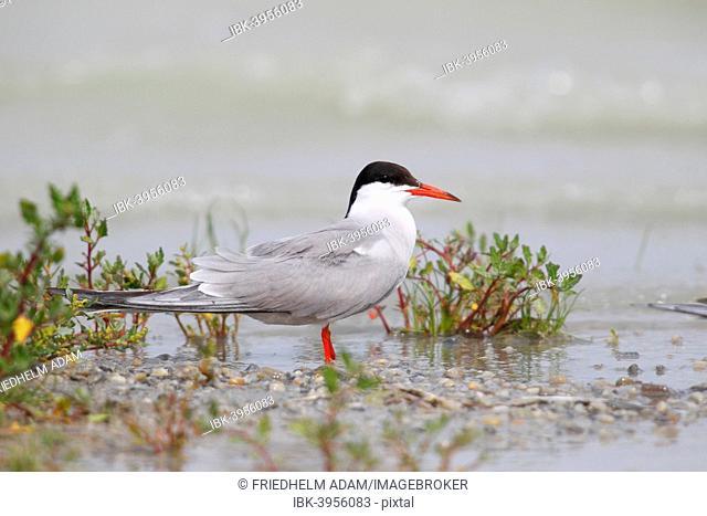 Common Tern (Sterna hirundo) standing in shallow water, Lake Neusiedl, Burgenland, Austria