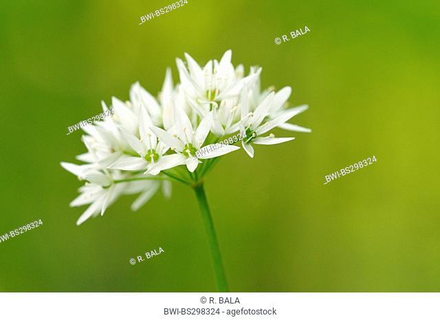 ramsons, buckrams, wild garlic, broad-leaved garlic, wood garlic, bear leek, bear's garlic (Allium ursinum), inflorescence, Germany, North Rhine-Westphalia