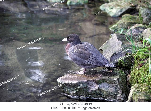Blue Duck Hymenoluimus malacorhynchos On rock beside water