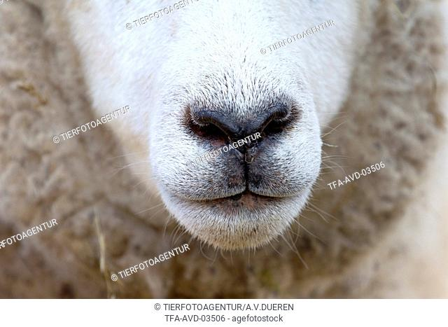 sheep mouth