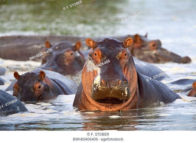 hippopotamus, hippo, Common hippopotamus (Hippopotamus amphibius), herd in a river, South Africa