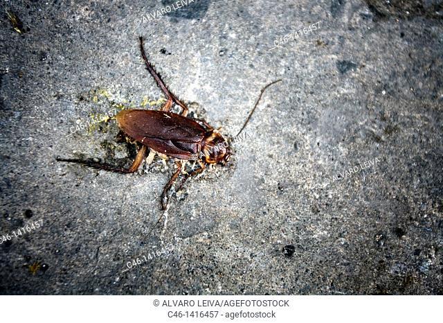Cockroache  Santa Clara, Cuba