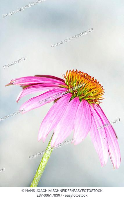 cone flower, Echinacea purpurea