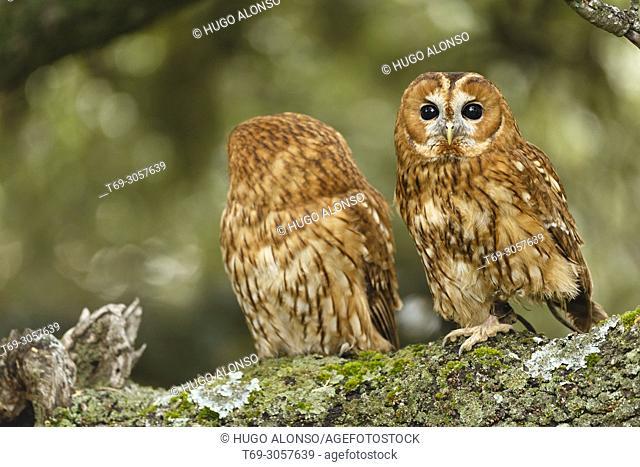 Twin tawny owl or brown owl. Strix aluco. Madrid. Spain