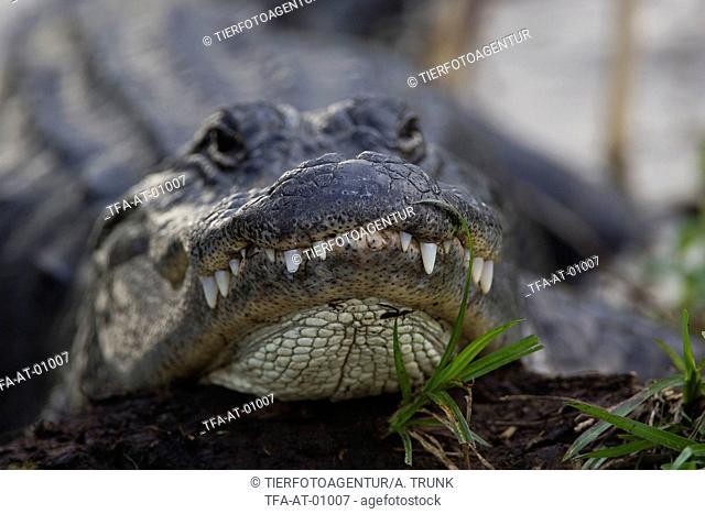 Mississippi Alligator