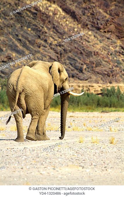 African Elephant Desert Loxodonta africana, Purros, Kunene region, Namibia