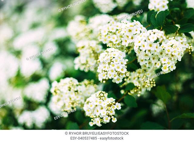 White Spirea Flowers On Bush At Spring. Spiraea flowers are highly valued in decorative gardening and forestry management