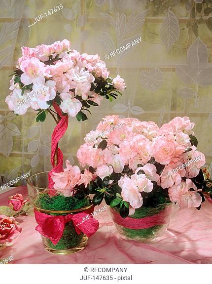 pink Azaleas in glass jars / Rhododendron simsii