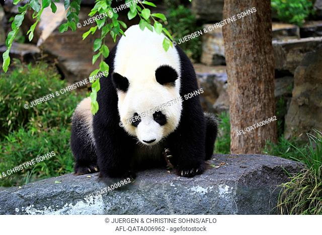 Giant Panda, (Ailuropoda melanoleuca), adult sitting on stone, Adelaide, South Australia, Australia