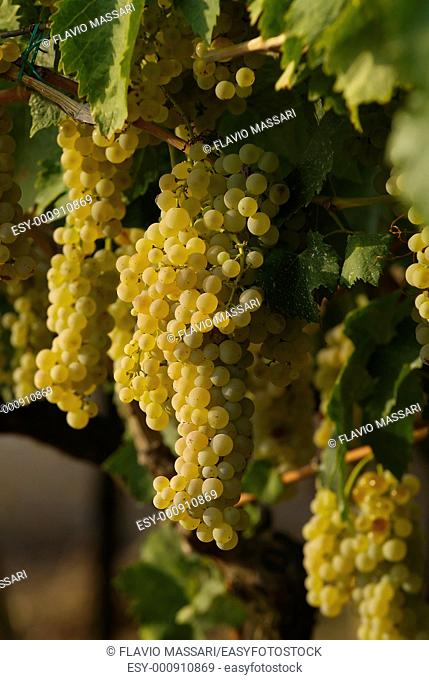 grapevine in the vineyard