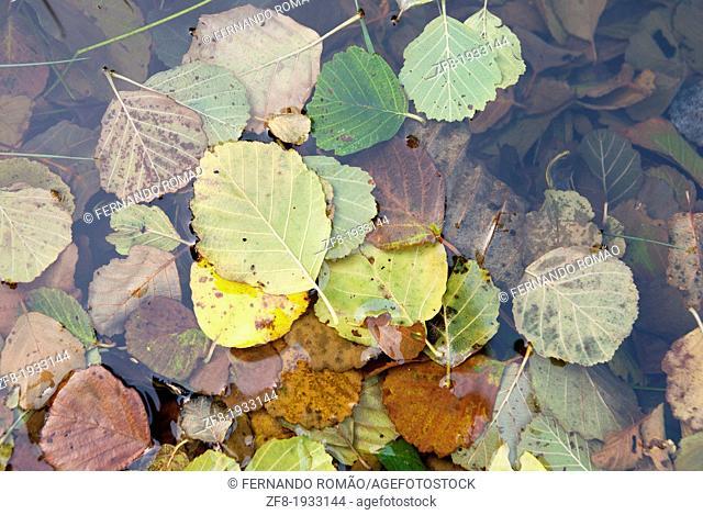 Alder leaves in the river water, Guarda, Portugal