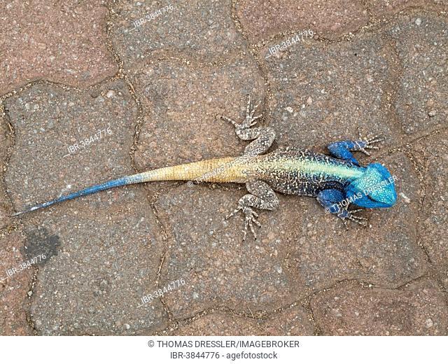 Blue Headed Tree Agama (Agama atricollis), breeding male, Kruger National Park, South Africa