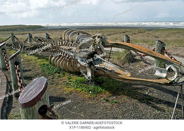 his very old skelton of a gray whale Eschrichtis robustus is located on Long Beach Washington, on Discovery trail, part of the Lewis and Clark expedition in...