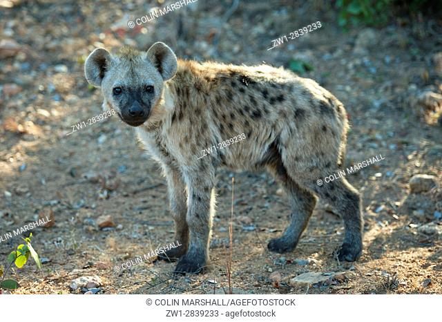 Juvenile Spotted Hyena (Crocuta crocuta) aka Laughing Hyena, Kruger National Park, Transvaal, South Africa