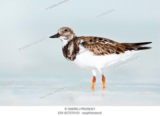 Bird in the water. Funny image of bird. Ruddy Turnstone