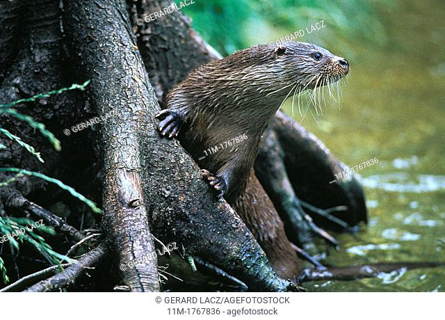 European Otter, lutra lutra, Adult standing in River