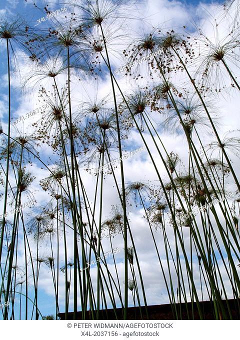 Botanical garden, papyrus plant, Portugal, Madeira, Funchal