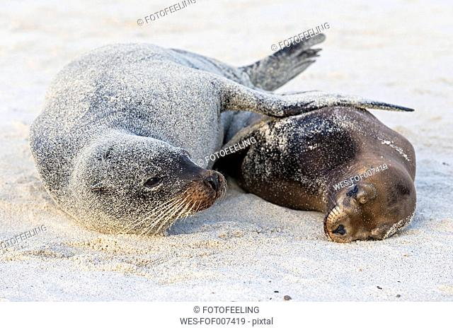 Ecuador, Galapagos Islands, Santa Fe, two sandy sea lions lying on beach