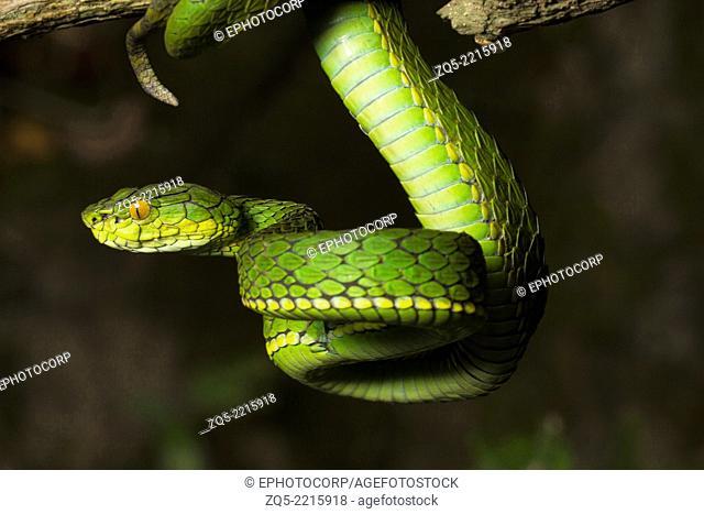 Large scaled pit viper, Trimeresrus macrolepis, Common, Eravikulam National Park, Kerala