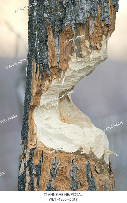 Closeup of tree half nagged down by beaver, Alberta, Canada
