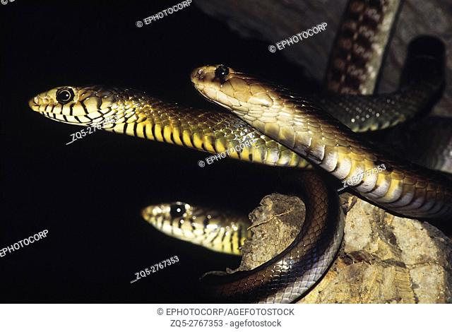 A Cobra (Naja Naja), two dhamans (Coluber mucosus). The dhamans have black lines separating their lip scales, the Cobra does not