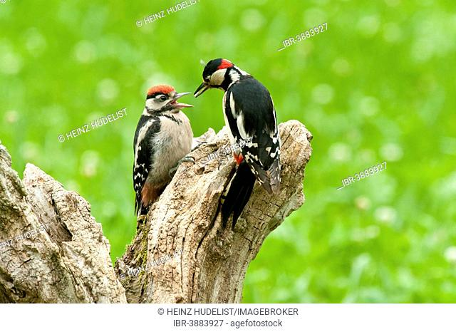 Great Spotted Woodpecker (Dendrocopos major) adult feeding young, Austria