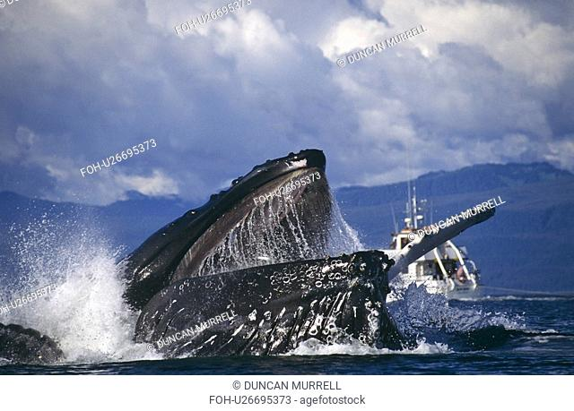 Humpback Whale feeding Megaptera novaeangliae. Chatham Straits, S. E. Alaska