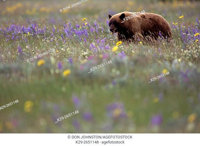 Black Bear (Ursus americanus) Cinammon variant, Waterton Lakes National Park, Alberta, Canada