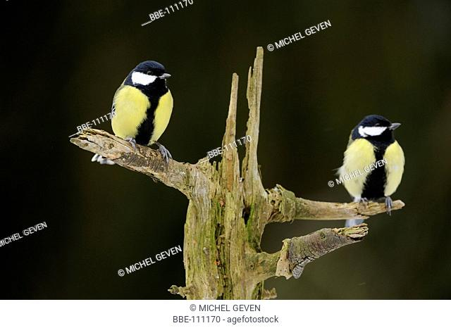 Two male Great Tits preched on dead tree