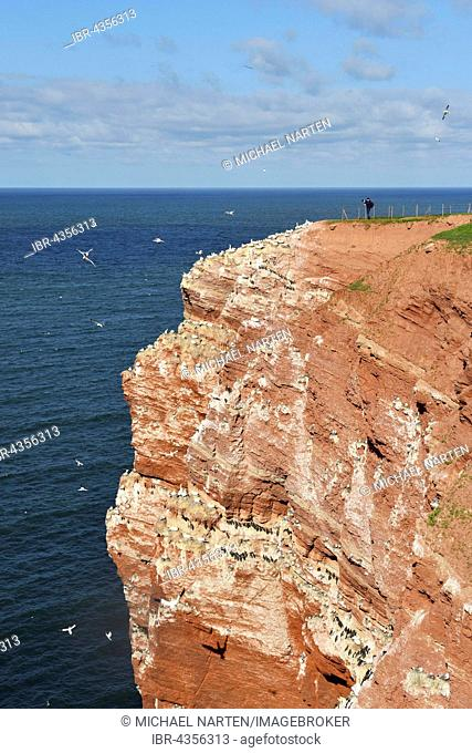 Birdwatchers on Lummenfelsen with Northern gannets (Morus bassanus), Heligoland, Schleswig-Holstein, Germany