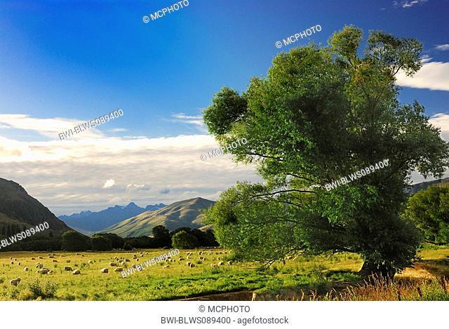 sheep herd in Otago, New Zealand, Southern Island