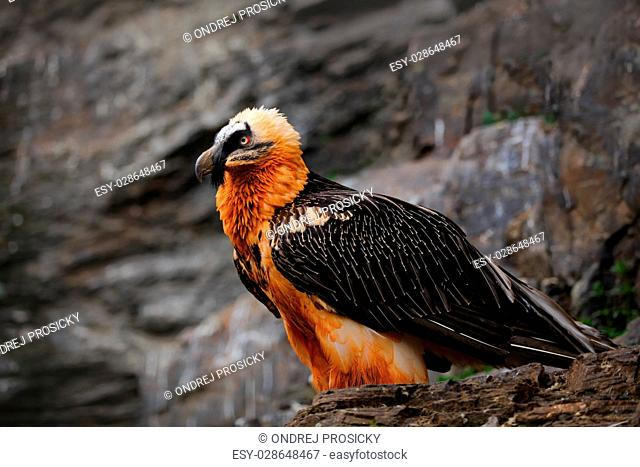 Bearded Vulture, Gypaetus barbatus