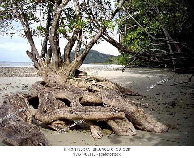 Mangrove tree at Cape Tribulation beach