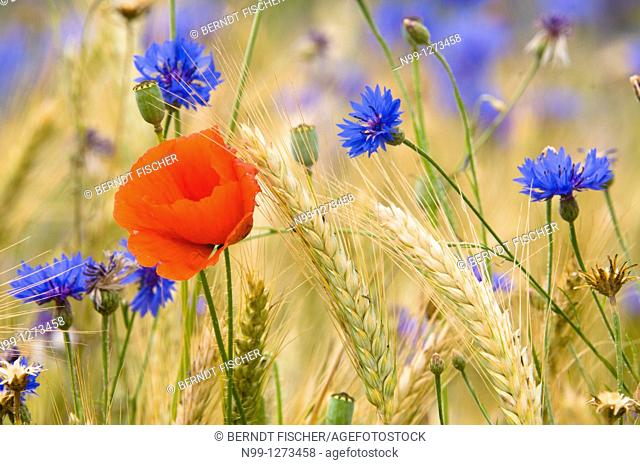 Common poppy (Papaver rhoeas) and Cornflowers (Centaurea cyanus) in a field of barley, Bavaria, Germany