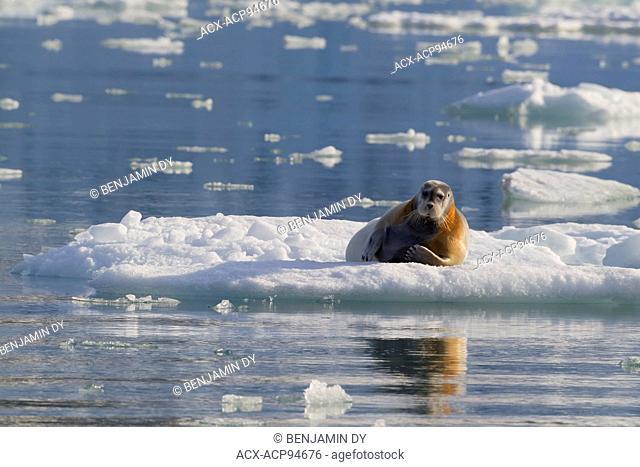 Bearded seal, Erignathus barbatus, On the ice, Svalbard, Norway