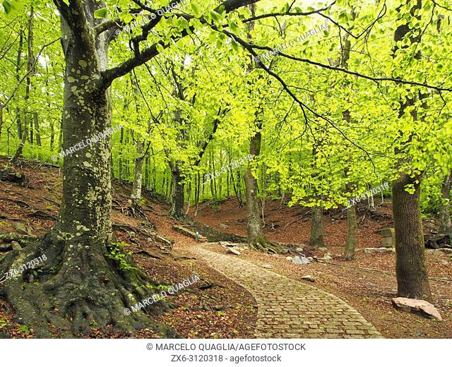 Beech forest (Fagus sylvatica) at Font Bona Fountain site, Sant Marçal area. Springtime at Montseny Natural Park. Barcelona province, Catalonia, Spain