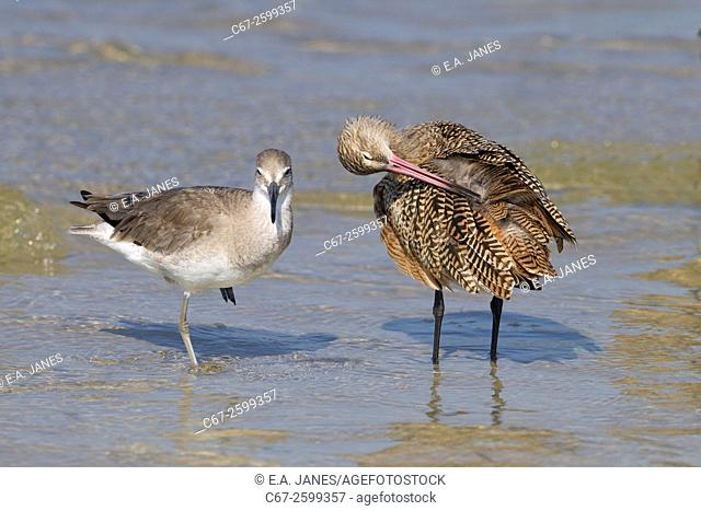 Marbled Godwit Limosa fedoa and Willet feeding March Fort Myers beach Gulf coast Florida USA