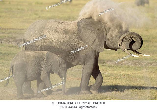African Elephants (Loxodonta africana), cow with calf taking a dust bath, Chobe National Park, Botswana