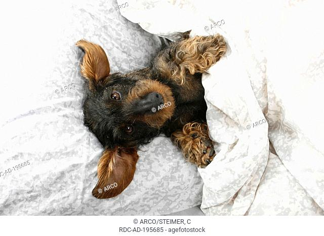 Wirehaired Dachshund in bed