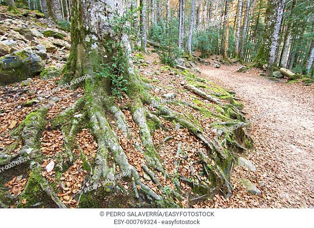 roots in Ordesa National Park, Pyrenees, Huesca, Aragon, Spain