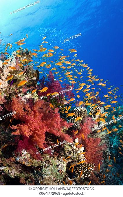 Lyretail anthias or Goldies Pseudanthias squamipinnis over coral reef, feeding in the current  Egypt, Red Sea