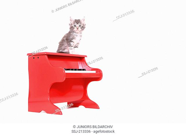 American Longhair, Maine Coon. Kitten (6 weeks old) sitting on a small red piano. Studio picture against a white background. Germany