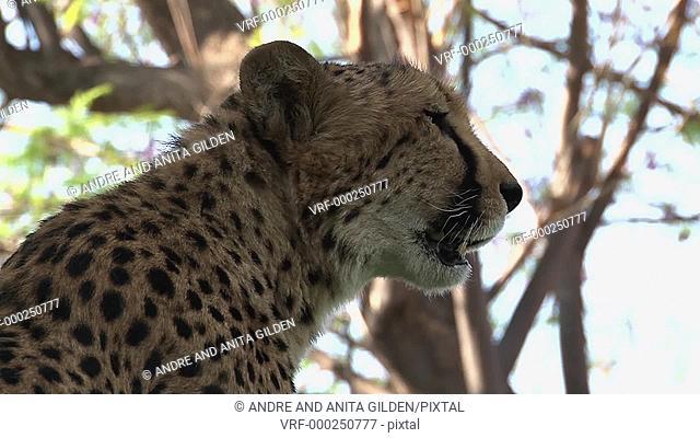 Cheetah (Acinonyx jubatus) portrait close-up, low angle view