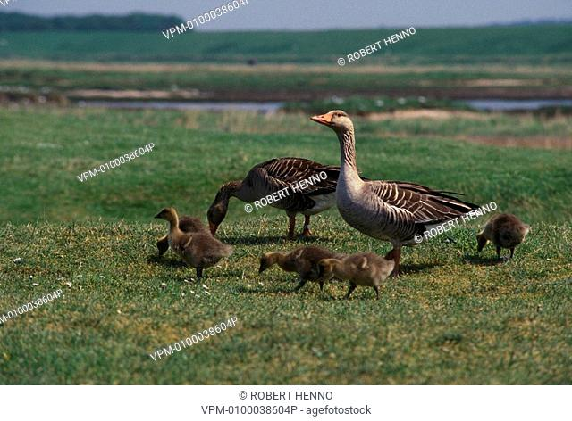 ANSER ANSERGREY LAG GOOSE ADULTS & YOUNG FORAGINGZWIN NR - BELGIUM