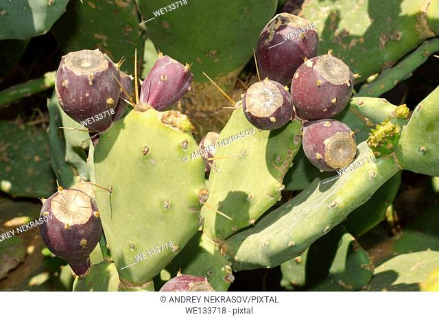 Indian fig opuntia, Barbary fig, or Prickly pear (Opuntia ficus-indica) with ripe fruits, Tunis, Africa
