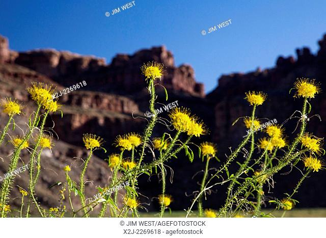 Canyonlands National Park, Utah - Yellow Beeplant (Cleome Lutea) growing at Spanish Bottom on the Colordo River