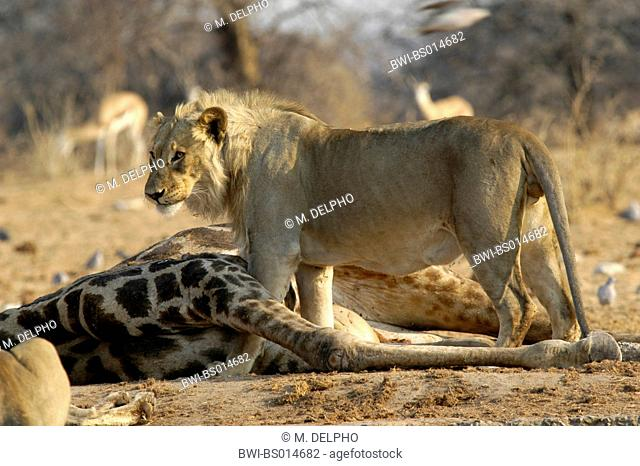 lion (Panthera leo), male lion standing beside dead giraffe, Namibia, Etosha National Park