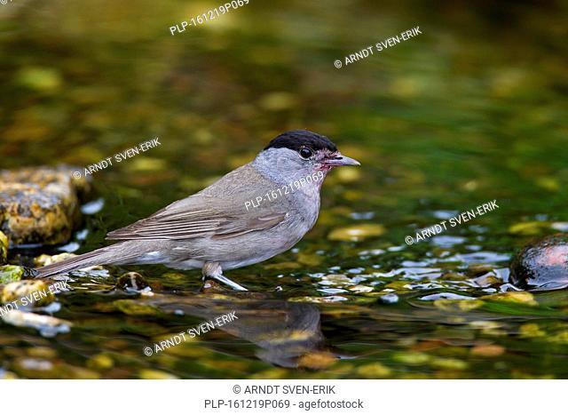 Eurasian blackcap (Sylvia atricapilla) male drinking water from brook
